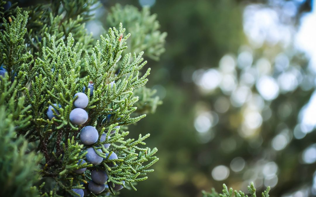 Juniper- The Essential Ingredient